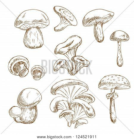 Autumnal forest edible boletus and porcini, chanterelle and shiitake, champignons, oyster and poisonous amanita mushrooms vintage stylized sketches. Recipe book, vegetarian menu, food themes