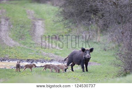 Wild Boar With Piglets On Meadow