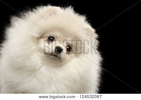 Closeup Portrait of Furry White Pomeranian Spitz Dog Curiously Looking, isolated on Black Background