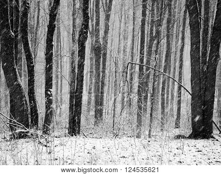 Snowy day in the forest in Canada