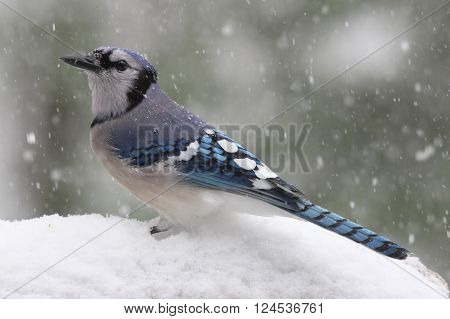 A blue jay (Cyanocitta cristata) perching in a winter snow storm. ** Note: Soft Focus at 100%, best at smaller sizes