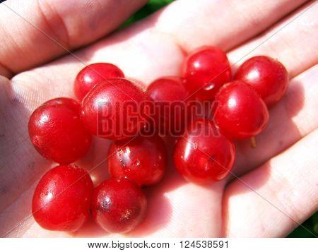 Juicy red fruit of the Chinese dwarf Cherry. Korean Cherry.