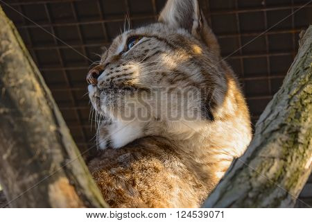 Close-up portrait of the lynx. Wild cat (lynx) resting on the tree.