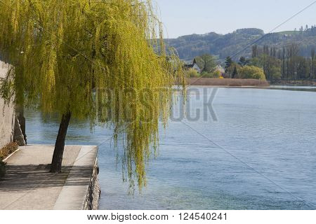 Willow tree by the river in Stein am Rhein Switzerland in a bright sunny day with view of hill in background