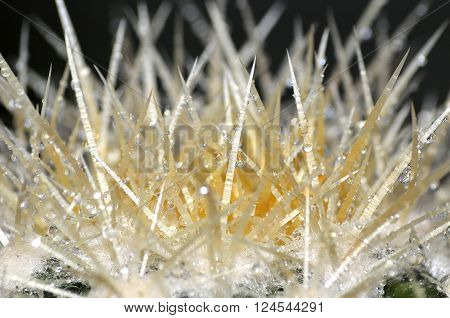 Macro picture of cactus spikes with water droplets. ** Note: Visible grain at 100%, best at smaller sizes