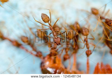 Red Ants Eat Extraction