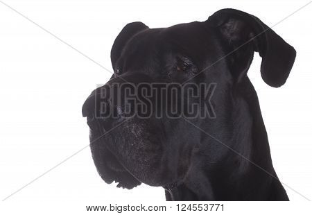 Side head shot of a purebred black Great Dane isolated on white