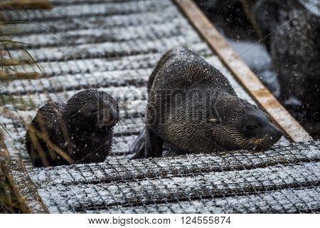 Antarctic fur seal and pup in snow
