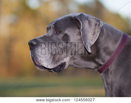 Older purebred Great Dane that has turned grey