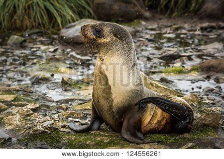 Antarctic fur seal in snow in riverbed