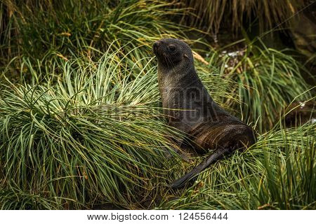 Antarctic fur seal lying in tussock grass