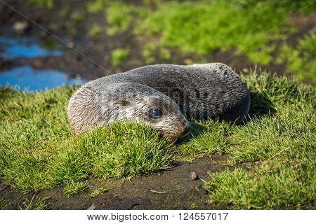 Antarctic fur seal on grass beside pond