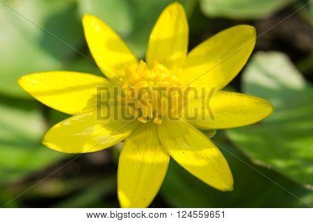 Ficaria verna lutik spring background close up.