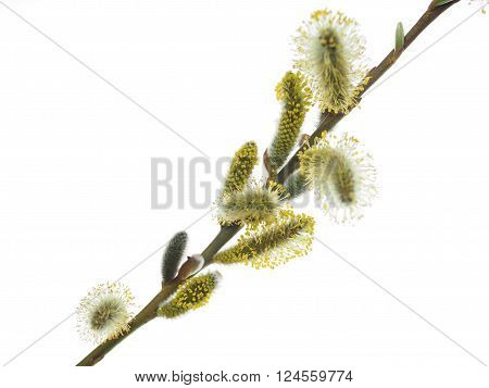 yellow willow flower on a white background