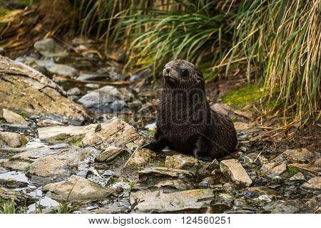Antarctic fur seal pup sitting in riverbed