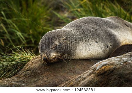 Antarctic fur seal sleeping in tussock grass