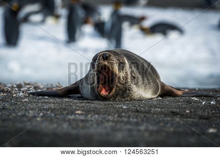 Antarctic fur seal yawns on sandy beach