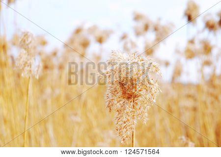 Dried Reeds, Grass