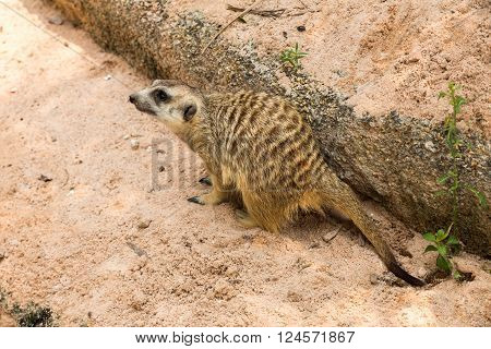 mongoose in the zoo sits on sand near the stone
