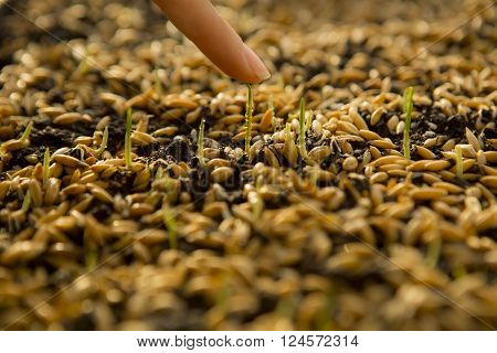 Sowing Wheat Crop. Wheat Green Seeds a Raw Food Diet. Hand Touching young shoot. Germination of Wheat at home Growing and Agriculture. Spring landing. Healthy Vegetarian Food. Spraying the ground