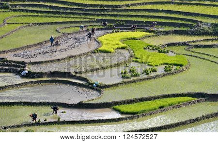 terraces, town of Sapa, Vietnam, the paintings