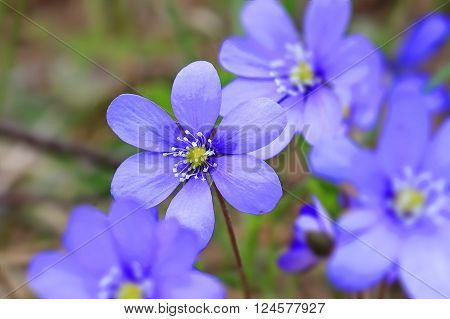 Blue flowers of Hepatica nobilis focus on single flower. Enhanced image suitable for backgrounds.