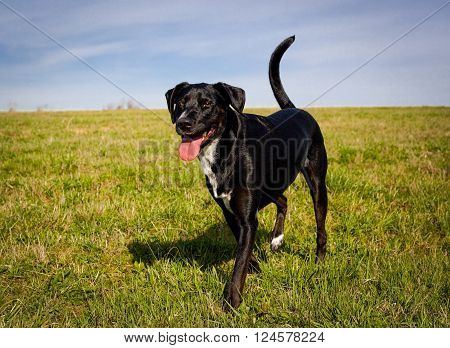 Sweeet playful black mutt with wagging tail and red tongue standing looking happy in green field