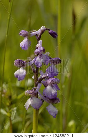 Green-winged Orchid - Anacamptis morio Flower in meadow