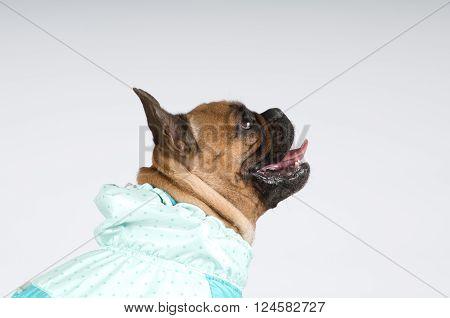 French bulldog studio closeup portrait in profile