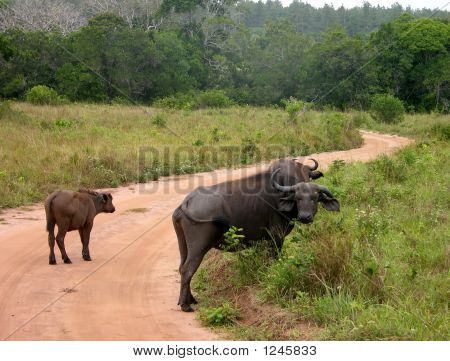 Cape Buffalo And Calf