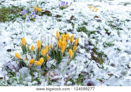 Crocuses on a meadow in the snow