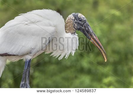 The wood stork is a large bald-headed wading bird found in the swamp lands of America's southeast.