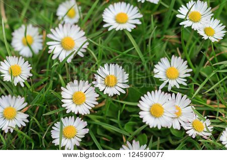Daisies In Meadow, White Daisy Flower Macro