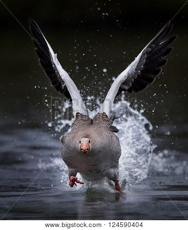 Greylag goose running on water in its habitat ** Note: Soft Focus at 100%, best at smaller sizes