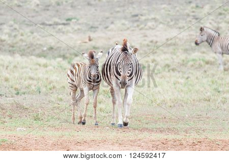 Pregnant Burchells zebra mare and her foal