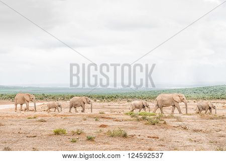 A queue of African elephants Loxodonta africana on their way to drink at a waterhole