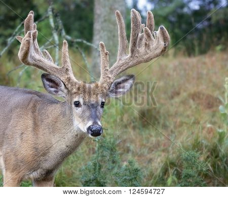 Close up head and shoulders image of a large white-tailed deer buck in velvet.