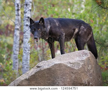 Alert grey wolf, black phase, standing on a rock. Animal in captivity.