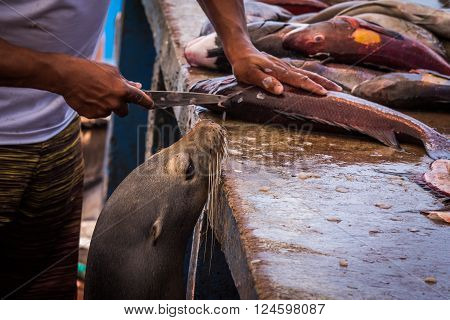 Hungry sea lion hoping for fish scraps