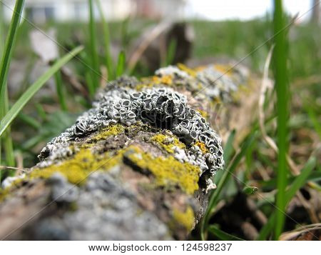 Lichen growing on a fallen tree branch in early spring