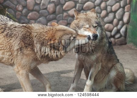 Two Grey Wolves (Canis lupus) playing and licking