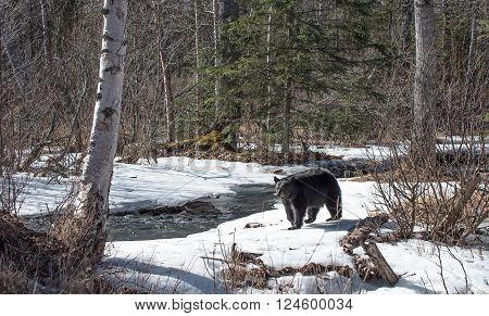 Black bear sow along a creek in Alaska