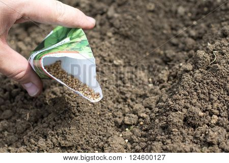 Spring Detail on Spinach Seeds in a Bag when Sowing Seed lines on Vegetable Flower-beds