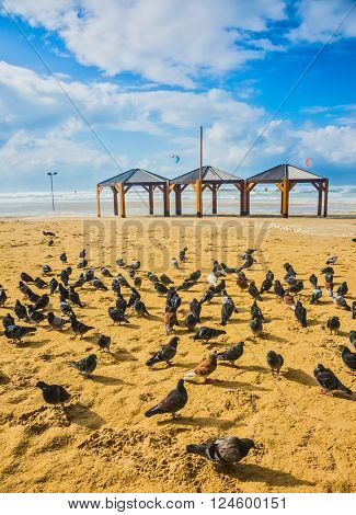 Large flock of pigeons resting on the sand. The beach in Tel Aviv. Windy winter day in January