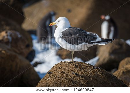 Kelp gull perched on rock in sunshine