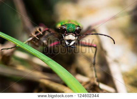 Green tiger beetle (Cicindela campestris). An impressive hunting ground beetle in the family Carabidae, amongst undergrowth showing mandibles and compound eyes