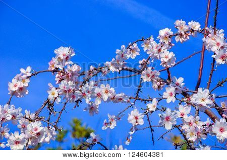 Spring begins.Branches of almond tree in full bloom with many nice pink flowers and buds coming into leaves on blue sky.