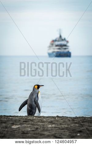 King penguin on beach with ship behind
