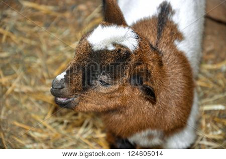 Cute sweet spotty baby goat on the farm.