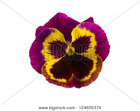 Flower of viola tricolor isolated over white.